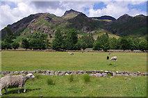 NY2906 : Sheep grazing, Great Langdale by Ian Taylor