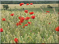 NT4562 : Poppies and winter wheat at Humbie by M J Richardson