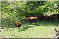 SS7844 : Sheltering cattle by Bill Boaden