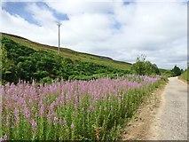 SK1099 : A patch of Rosebay Willowherb by Graham Hogg