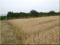 SX6646 : Footpath across a cornfield near Bigbury by David Smith