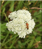 SX9066 : Beetle on wild carrot, Nightingale Park by Derek Harper