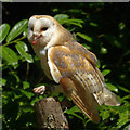 SN0113 : Barn owl, Picton Castle : Week 30