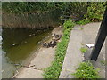 TQ2779 : Ducklings next to The Serpentine by Hamish Griffin