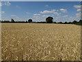 TL2581 : Barley field near Great Raveley by Hugh Venables