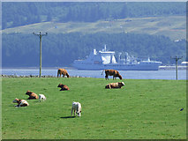 NS0769 : Cattle at Ardmaleish by Thomas Nugent
