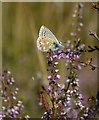 TQ1250 : Common Blue butterfly (Polyommatus icarus) on heather, Ranmore Common : Week 31