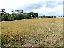 NY3841 : Field of barley by Oliver Dixon