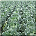 NT6177 : Brussels Sprouts at Knowes by M J Richardson