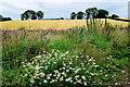 H4767 : Wild daisies, Drumconnelly by Kenneth  Allen