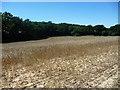TQ5637 : Wheatfield below Ramslye Wood by Christine Johnstone