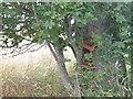 NT5882 : Shaggy Bracket near Gleghornie by M J Richardson