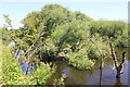 SJ4058 : Fallen Tree in the River Dee by Jeff Buck