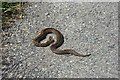 SH2181 : Snake on the road by DS Pugh