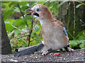 SN7098 : Jay with a peanut, Cors Dyfi Nature Reserve by Robin Drayton