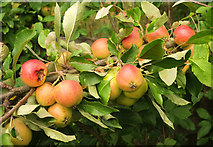 SX9066 : Apples, Nightingale Park by Derek Harper