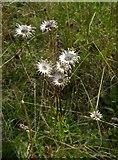 TQ1450 : Wildflowers of chalk downland: ox-eye daisies by Stefan Czapski