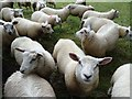 SO7843 : Inquisitive lambs by Philip Halling