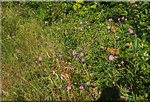 SX9066 : Pyramidal orchids, Nightingale Park by Derek Harper