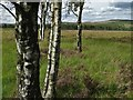 SK2773 : Among silver birches - east of Gardom's Edge by Neil Theasby