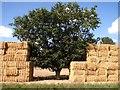 TG1520 : Oak tree sandwiched between stacks of baled straw : Week 35