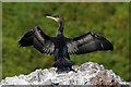 NH8268 : A cormorant (Phalacrocorax carbo) at North Sutor by Walter Baxter