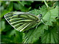 H4770 : Green-veined white butterfly, Galbally : Week 36