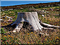 S7738 : Tree Stump by kevin higgins