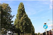 SU6067 : Trees by Bath Road, Aldermaston by David Howard