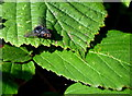 H4281 : Fly on a bramble leaf, Carrigans by Kenneth  Allen