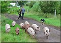 NT1950 : Herding pigs, Whitmuir organic farm by Jim Barton