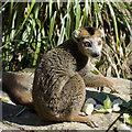 ST5674 : Lemur in Bristol Zoo by Paul Harrop