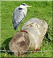 SD4759 : Grey heron next to the Lancaster Canal by Mat Fascione
