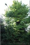 SU4831 : Tree by Worthy Road, Abbott's Worthy by David Howard