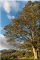 NY2724 : Tree on Latrigg by Ian Capper