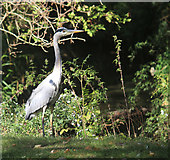 TQ2794 : Heron beside Pymme's Brook by Des Blenkinsopp