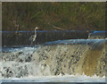 SD5868 : Heron on the weir at Hornby by Karl and Ali