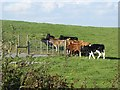 N5476 : Cattle at Milltown by Oliver Dixon
