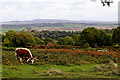 SO8383 : Grazing on Kinver Edge in Worcestershire by Roger  Kidd