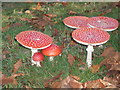 TQ4123 : Close up  view of fly agaric at Sheffield Park by Adrian Diack