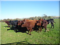 TQ5201 : Cattle next to the South Downs Way by Marathon