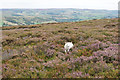 SO3799 : Lamb leaping out of the heather by Bill Boaden