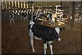 ST2531 : Calves at Clavelshay by Derek Harper