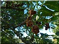 NS3976 : Galls on ash by Lairich Rig