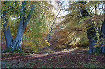 NH5857 : Beeches in Drummondreach Oak Wood by Julian Paren