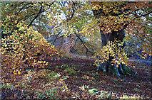 NH5857 : Beech leaves in autumn, Drummondreach Wood by Julian Paren