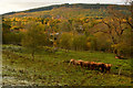 NH5028 : Highland Cows at Clunebeg, near Drumnadrochit by Andrew Tryon