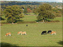 TQ1289 : Cattle at Pinner Park Farm by Stephen McKay
