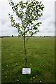 TF1081 : Memorial tree to Sergeant A/G  C Johnson by Ian S