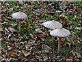 SO8781 : Parasol mushrooms near Iverley in Staffordshire by Roger  Kidd